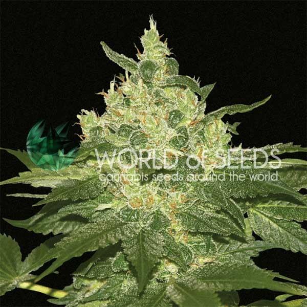 Afghan Kush fem World of Seeds