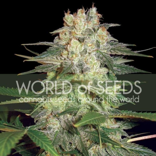 Afghan Kush Ryder auto World of seeds