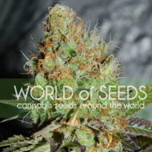 Afghan Kush Special fem World of Seeds