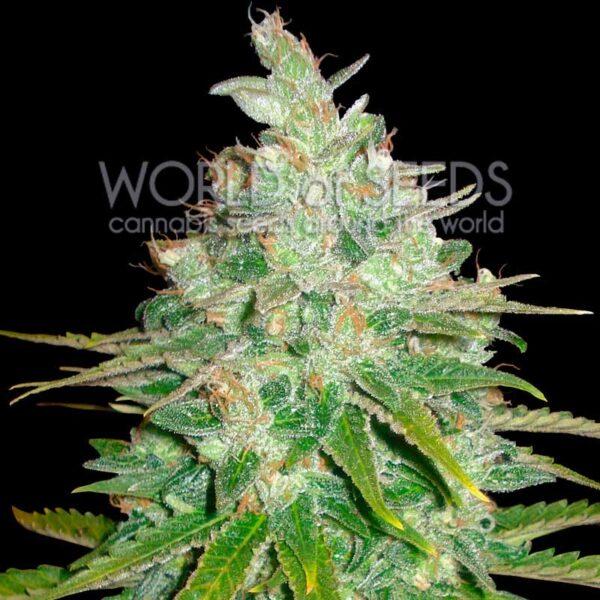 Afghan Kush x Black Domina fem World of Seeds