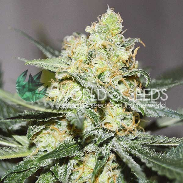 afghan Kush x Skunk fem World of Seeds