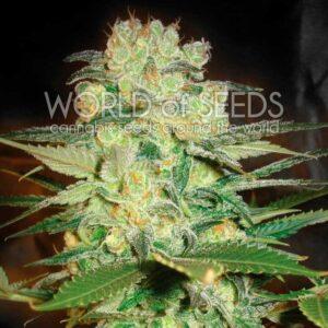 Afghan Kush x White Widow fem World of Seeds