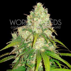 Afghan Kush x Yumbolt fem World of Seeds