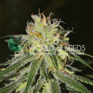 Amnesia fem World of Seeds