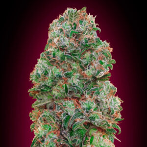 Bubble Gum fem 00 seeds