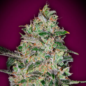 bubble gum fast version 00 seeds