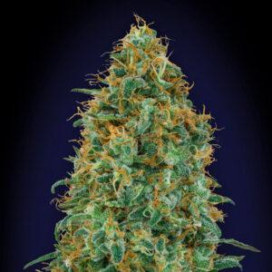 blueberry fem 00 seeds