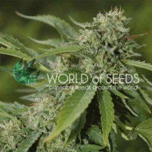 Brazil Amazonia reg World of Seeds