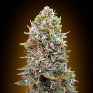 Cheese berry auto - 00 seeds