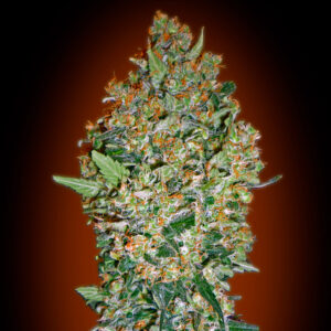 cheese berry fem 00 seeds