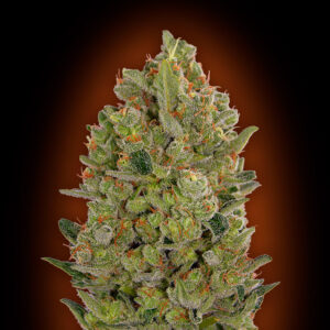 Cheese fem - 00 seeds