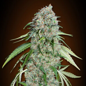chocolate skunk cud 00 seeds