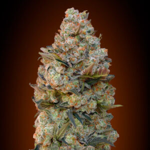 chocolate skunk fem 00 seeds