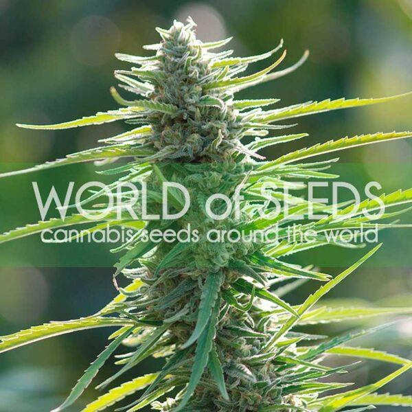 Colombian Gold fem World of Seeds