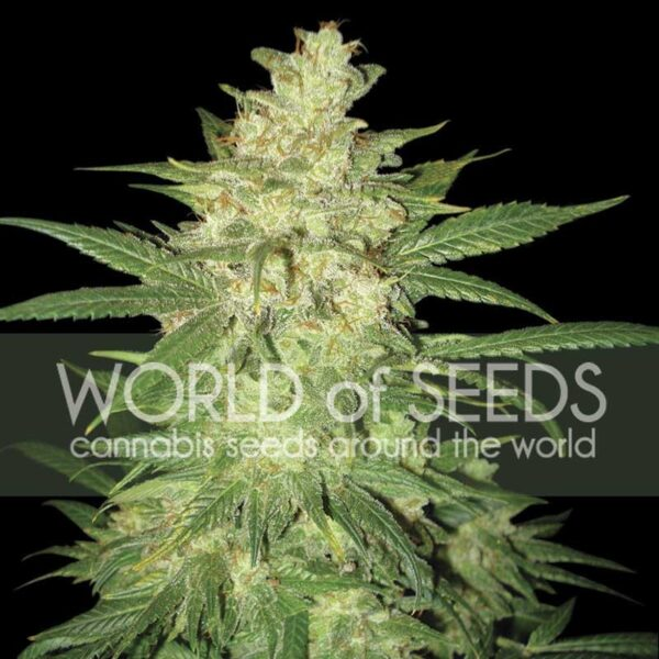 Colombian Gold Ryder auto World of seeds