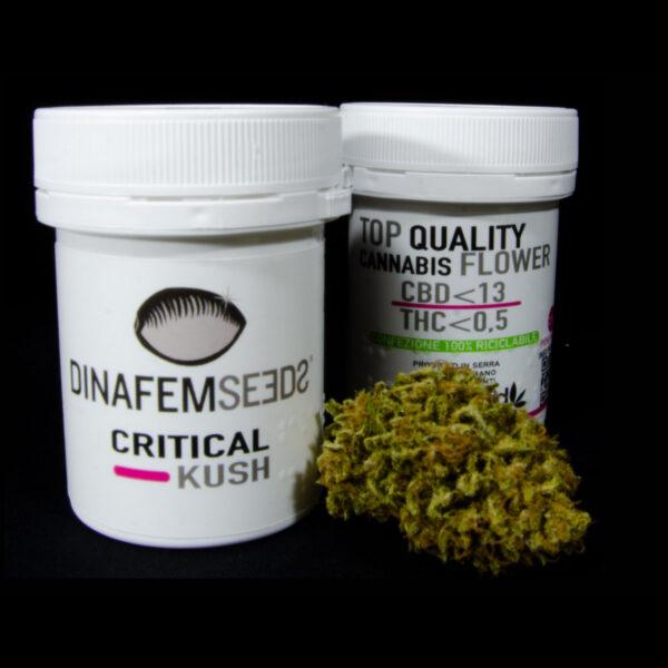 critical kush thcbd cannabis light campo di canapa