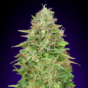 critical poison fast version 00 seeds