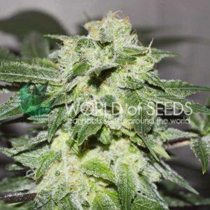 Chronic Haze fem World of Seeds