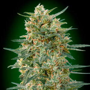gorilla fast version 00 seeds