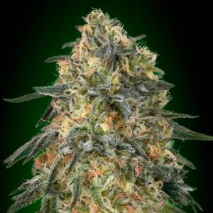 gorilla fem 00 seeds