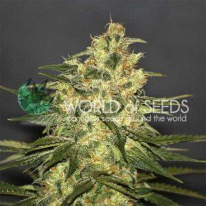 Ketama fem World of Seeds