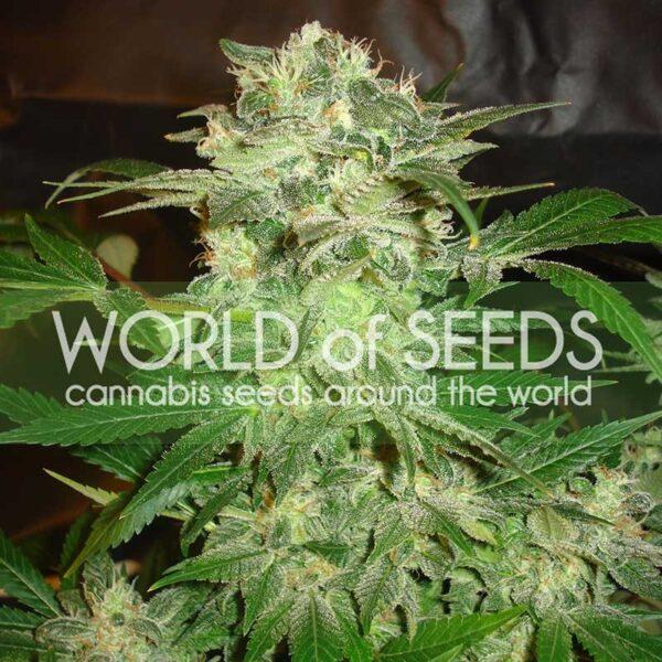 Mazar Kush fem World of Seeds
