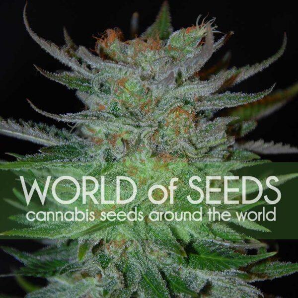 New York 47 fem World of Seeds