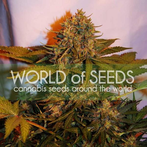 NL x Big Bud Ryder auto World of seeds