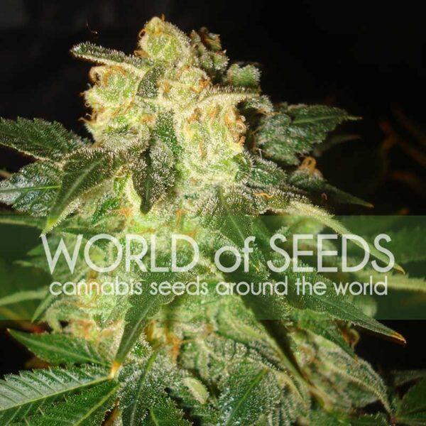 Pakistan Ryder auto World of seeds