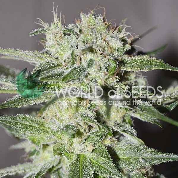 Pakistan Valley fem World of Seeds