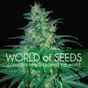 South African Kwazulu fem World of Seeds