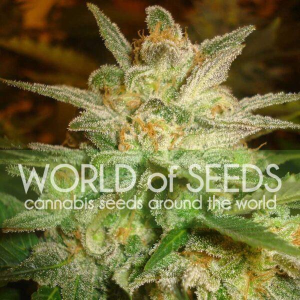 Star 47 fem World of Seeds