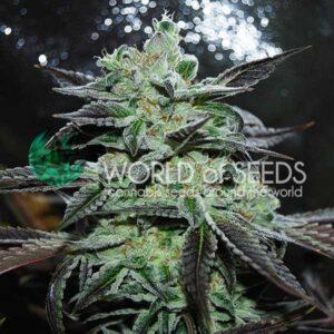 Strawberry Blue fem World of Seeds