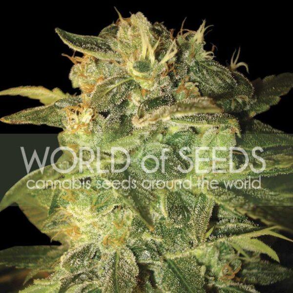 Sugar Mango Ryder auto World of seeds