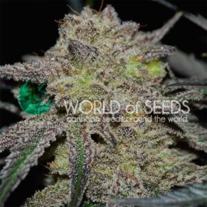 Tonic Ryder auto World of seeds