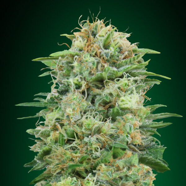 white widow cbd 00 seeds