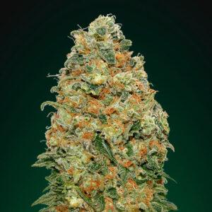 white widow fem 00 seeds