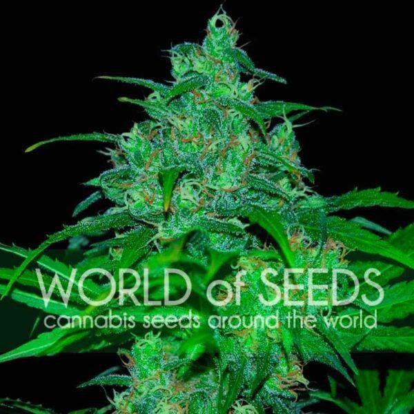 Wild Thailand fem World of Seeds