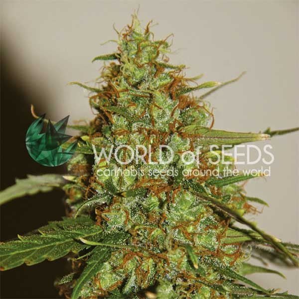Wild Thailand Ryder auto World of seeds