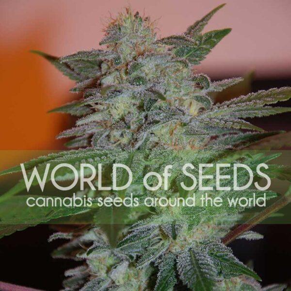 Yumbolt 47 fem World of Seeds