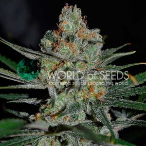 Afghan Kush Fast version World of Seeds
