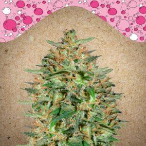 Bubblegummer fem Female Seeds