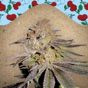 Cherry Pie fem Female Seeds