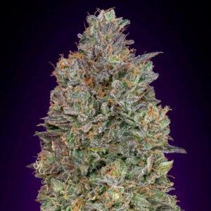 critical purple kush advanced seeds