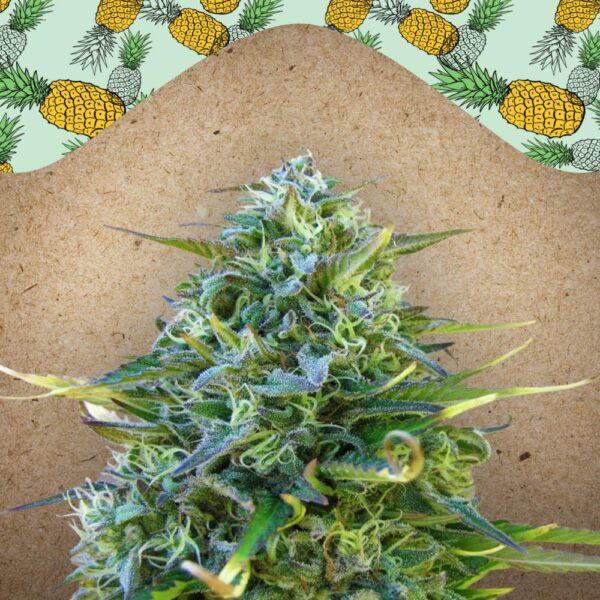 Critical Sour fem Female Seeds