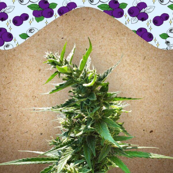 Dream Berry fem Female Seeds