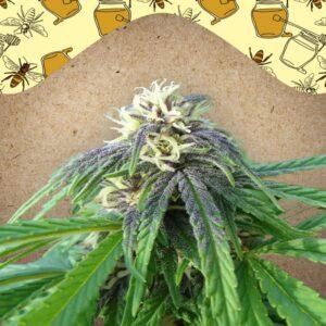 Easy Sativa fem Female Seeds