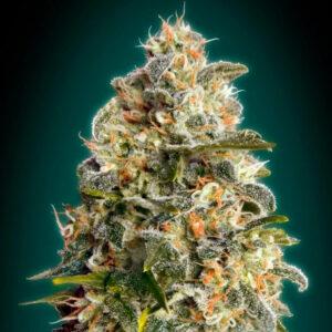 Heavy Bud advanced seeds