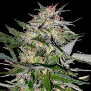 jack plant advanced seed