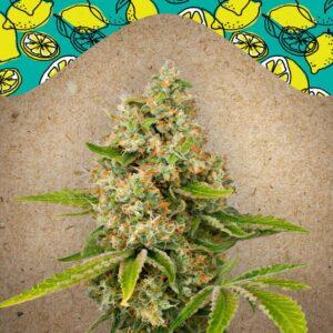 Lemon Kush fem Female Seeds